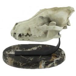 Dinosaur Skull & Marble Decor